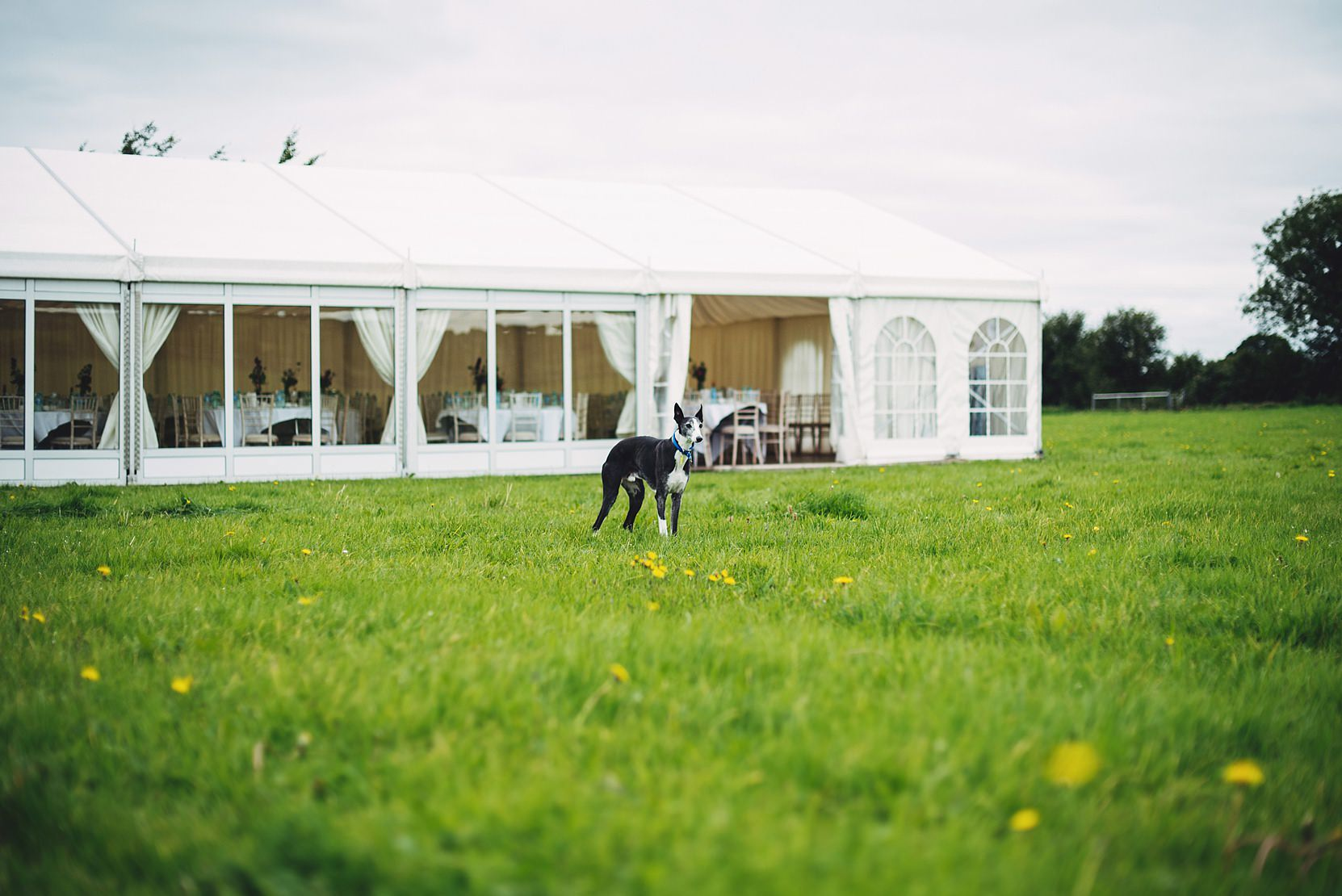 Dog in a field at a wedding